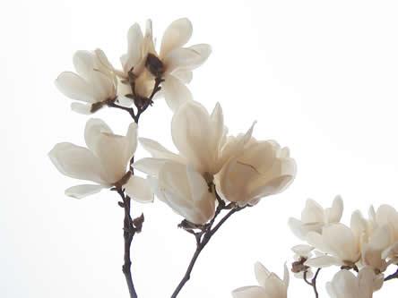 magnolia of beverboom