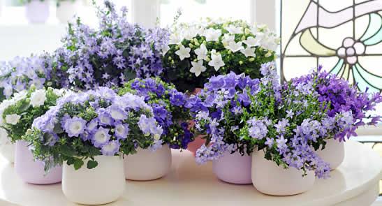 Campanula kamerplant van de maand maart
