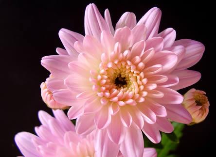 Chrysanthemum een langhoudbare snijbloem in de vaas