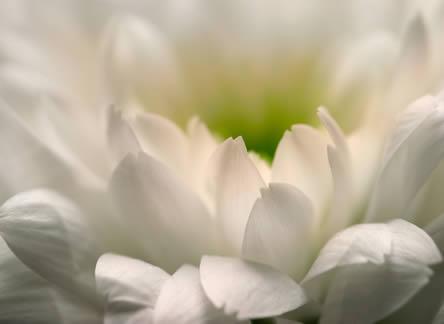 Verschillende soorten snijbloemen: Chrysanthemum