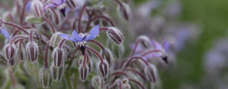Borago officinalis of komkommerkruid