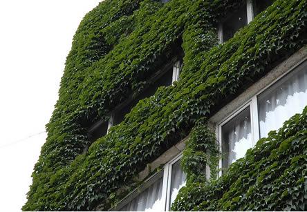 muur begroeid met klimplanten. muur isoleren met planten