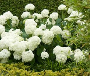H. arborescens 'Annabelle'