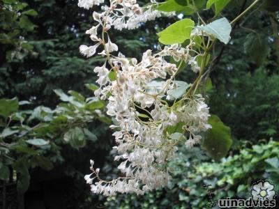 Fallopia, bruidsluier klimplant