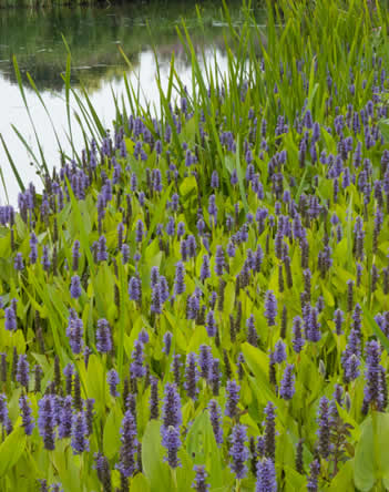 oeverplanten moerasplanten Pontederia cordata - snoekkruid