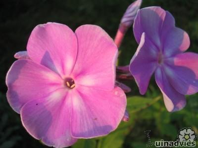 Mooie bloem van de vlambloem