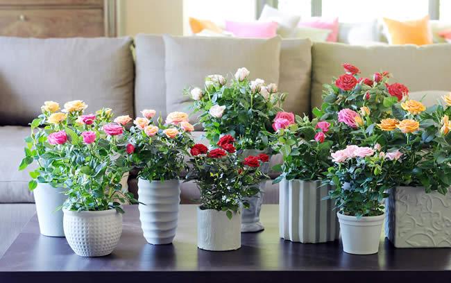 rozen in potten