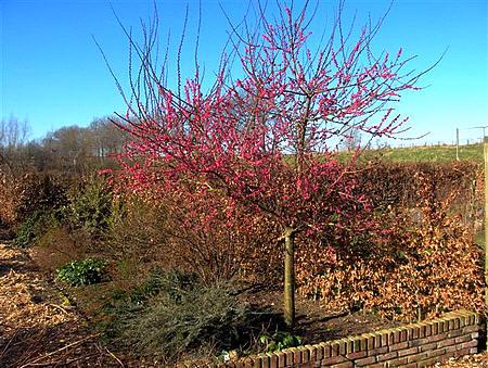 Prunus mume 'Ben-chi-dori'