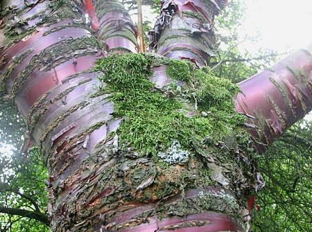 Prunus serrula heeft een koperrode bast met schilferachtige schors met een fraaie glinstering