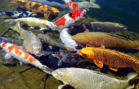 gezonde vissen - gezonde vijver