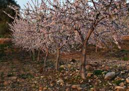 amandelplantage in Andalusië