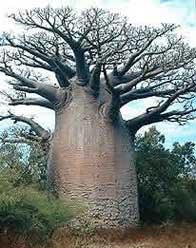 apebroodboom op Madagascar