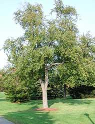 suikerberk (Betula lenta)