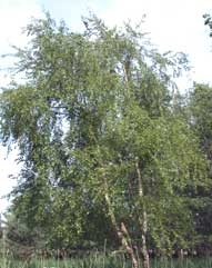 zachte berk  Betula pubescens)