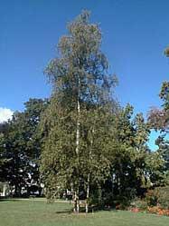 ruwe berk (Betula verrucosa)