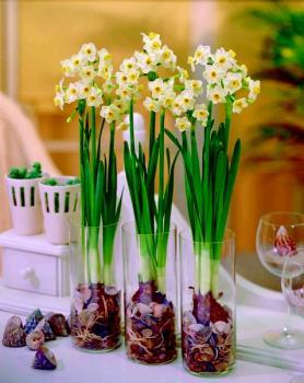 Narcis Avalanche - voor huiskamer