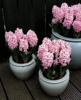 Hyacinten Anna Marie -