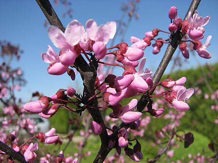 lente bloeiende bomen met bloemen op nog naakte takken