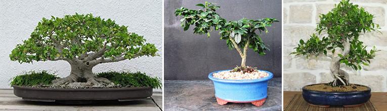 van links naar rechts: Ficus microcarpa, Ehretia buxifolia, Ficus retusa