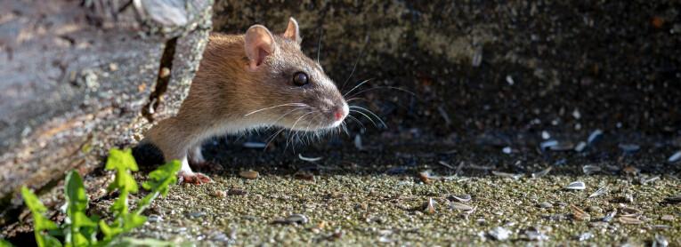 Ratten en muizen verjagen in de tuin