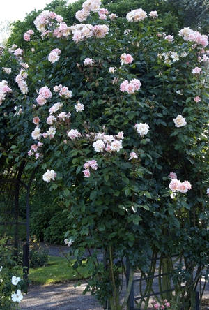 klimrozen langs rozenboog planten
