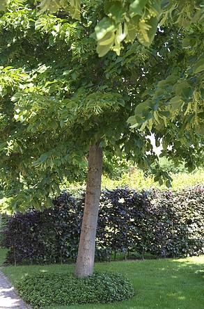 linde als mooie tuinboom