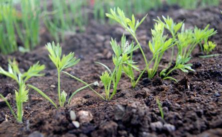 Enkele weken na het zaaien van de wortelen verschijnen de eerste kiemplantjes
