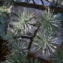 tak van Cedrus brevifolia