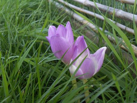 herfstbloeiende krokussen bloeien ook zonder bladeren