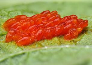 eitjes coloradokever