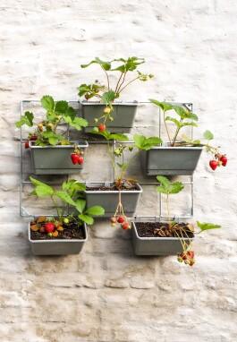 Aardbeien kweken in het stad