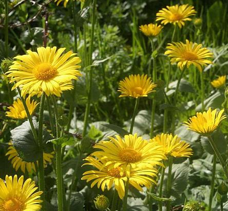 bloeiende voorjaarszonnebloemen