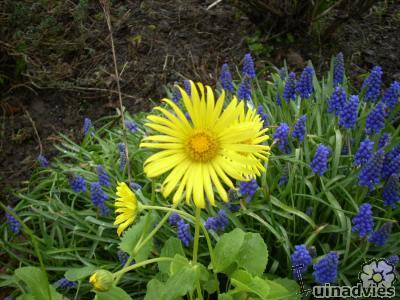 Foto van Doronicum in bloei