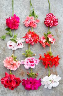 Geknipte geraniumbloemen