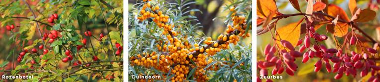 Rozenbotel, Duindoorn en zuurbes