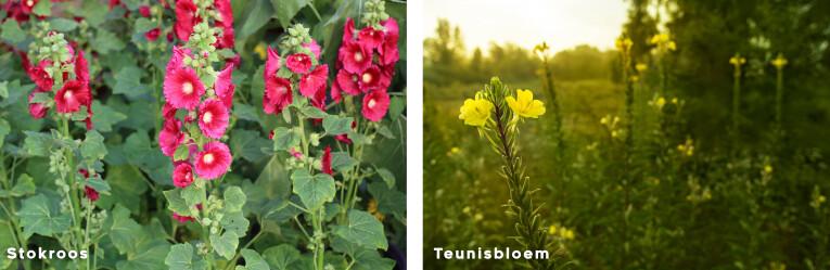 Stokroos en Teunisbloem