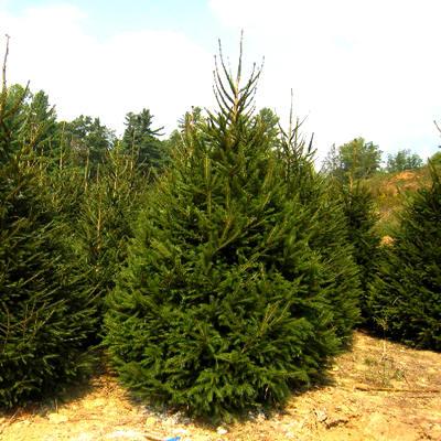 Fijnspar de meest voorkomende kerstboom