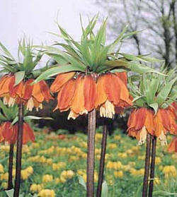 Fritillaria imperialis -Keizerskroon