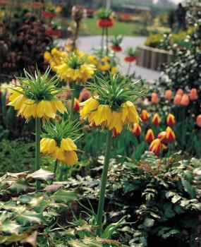 Fritillaria imperialis Lutea -