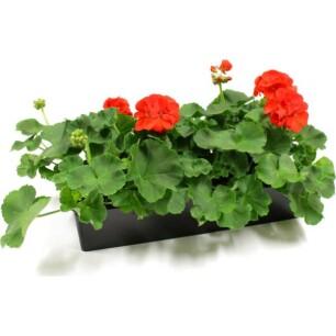 Geraniums - PAKKETDEAL (Pelargonium) - set van 20 stuks