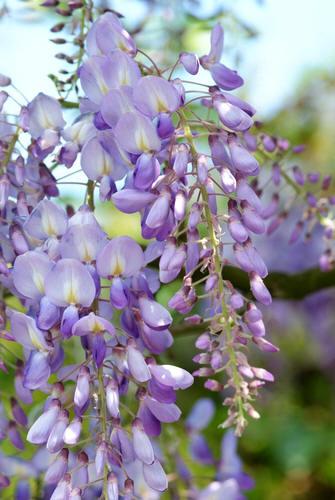 blauwe regen met geurende bloemen
