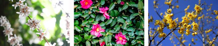 Abeliophyllum distichum - Camelia sasanqua - Chimonanthus praecox