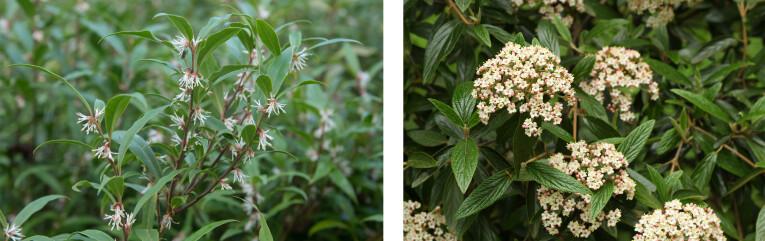 Sarcococca hookeriana 'Humilis' - Viburnum