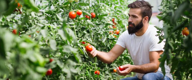 Eigen gekweekte tomaten oogsten