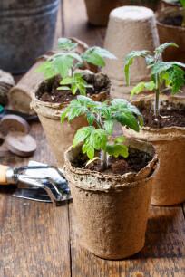 Jonge zaailingen van tomatenplanten