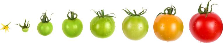 Van bloem tot tomaat