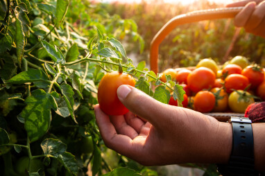 Tomaten oogsten