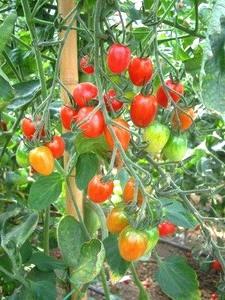 tomaat vinden hun oorsprong terug in Peru