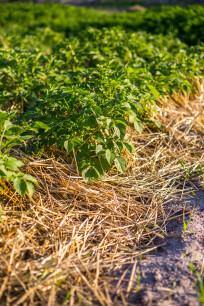 planten voorzien van mulchlaag
