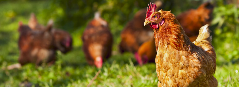 kippen vogelgriep